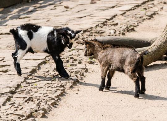 Tierkinder_Ziegen (Peter Bastian - Zoo Heidelberg)