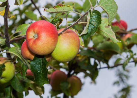WhmApfel01_24_08_2012.jpg 200 Gutschalk  WNL  24.08.2012 Weinheim  Apfel, Apfelbaum, Äpfel, Obst