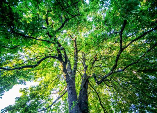 LeuBaum002_15_08_2015.jpg Bild: Hofmann . WNB . 15_08_2015 . 15.08.2015 .   Leutershausen / Hirschberg .   Feature / Symbolbild / Symbolfoto / Schmuckbild .   Baum , Wald , Laub , Natur , Naturpark