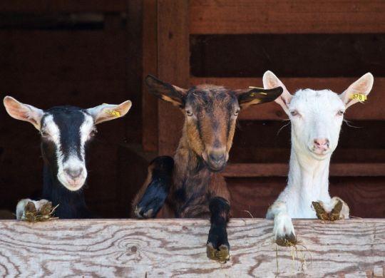 goats-2376144_1920