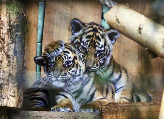 Tiger-ZooHD-2021_05_28-64B00420